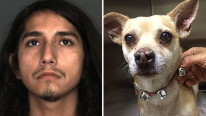 Dog Owner Arrested After Chihuahua Tested Positive for Meth