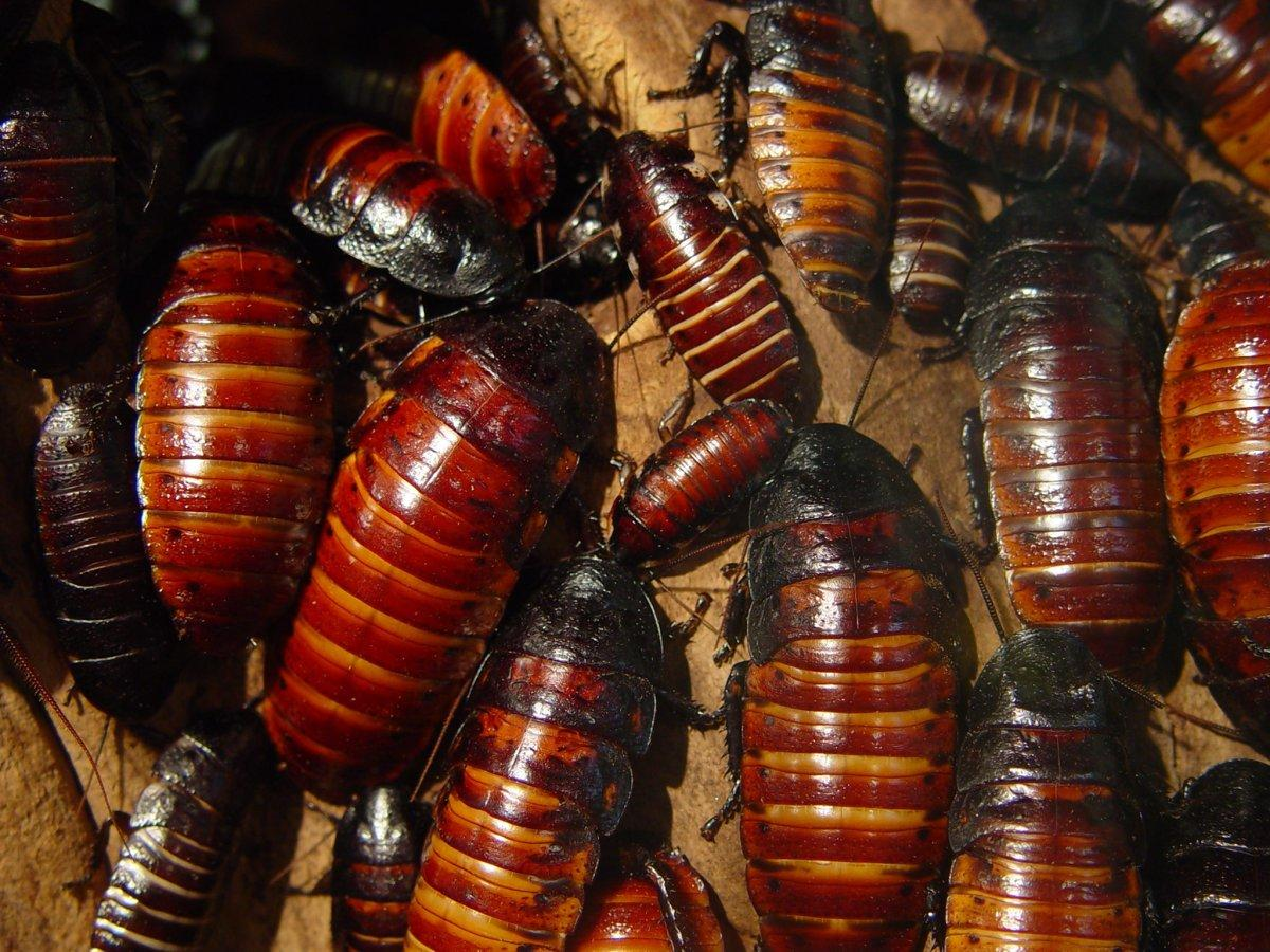 Gross but great — cockroach milk could be the next superfood