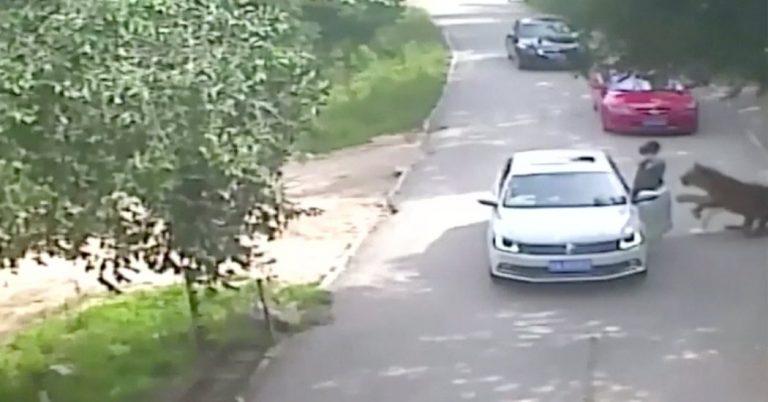 China Tiger Attack Kills Woman at Drive-Through Animal Park