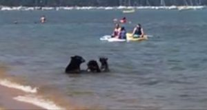 bear in lake tahoe